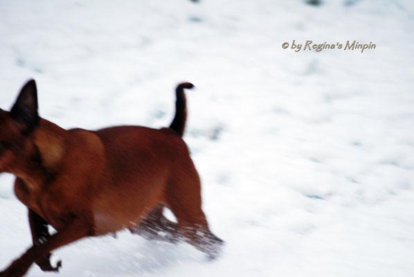 Nicht lange und Eve tobt blitzschnell, dass ich nicht  mal den ganzen Hund aufs Foto bekomme, durch den Schnee!