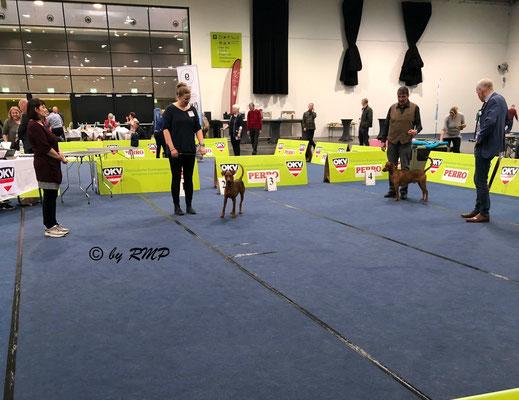 RMP A Redstar Amaryllo läuft um den Titel BESTER Rüde