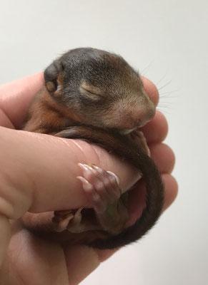 Eichhörnchenbaby hält sich an den Fingern der Pflegemutter fest