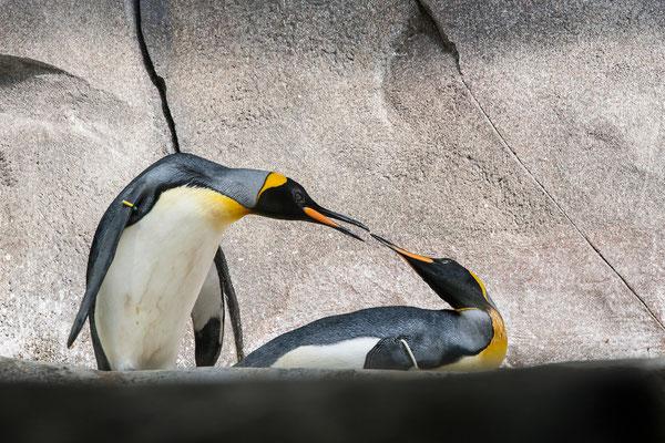 Königspinguine im Eismeer
