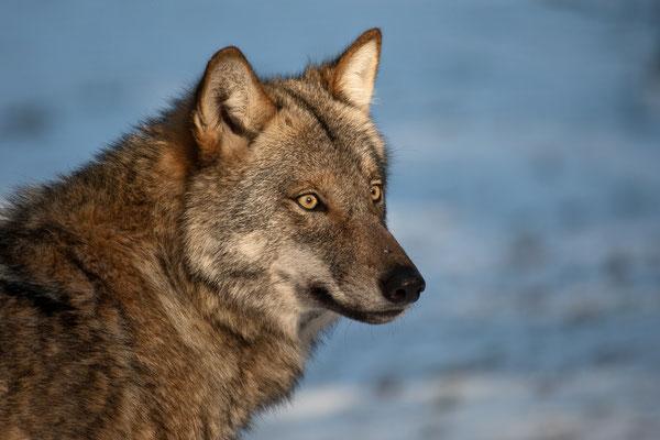Wolf im Wildpark Frankenhof