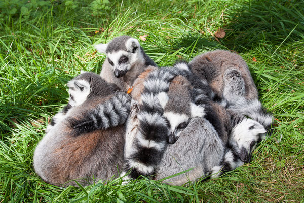 Kattas im Zoopark Metelen