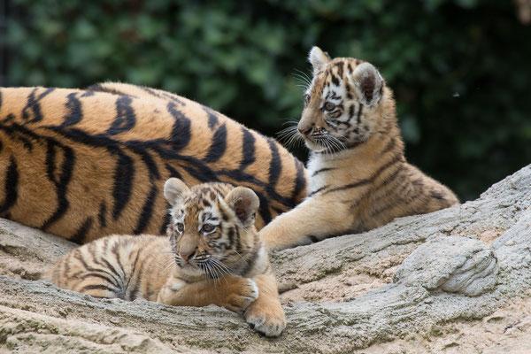 Tigernachwuchs im Sommer 2016