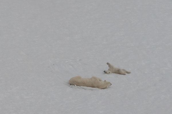 Die ersten Eisbären in der Hamiltonbukta