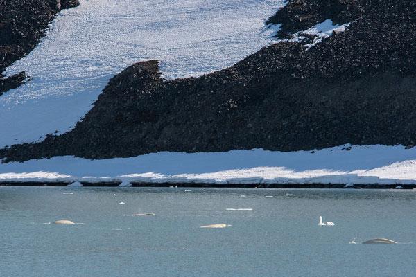 Belugawale am Idabreen