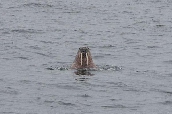 Erstes Walross gesichtet auf dem Weg zum Krossfjord