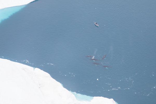 Ein absoluter Traum: Buckelwale von oben zu sehen.