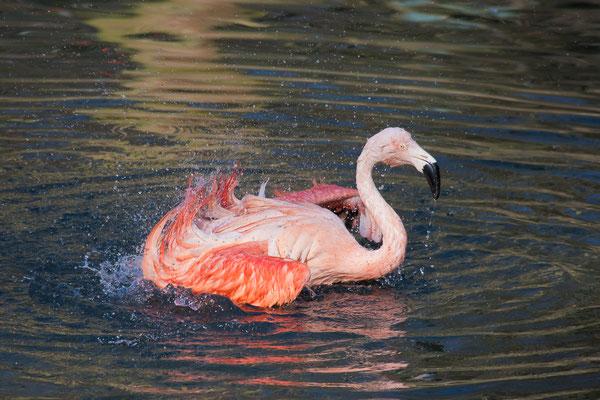 Flamingo-Badetag im Zoo Dortmund