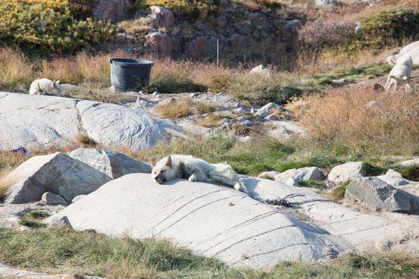 Die ersten Schlittenhunde am Ortsrand