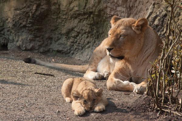 Löwennachwuchs im Zoo Wuppertal (2009)