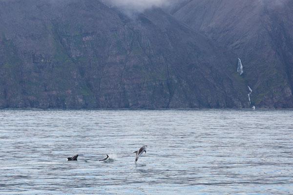Weißschnauzendelfine im Fjord von Husavik