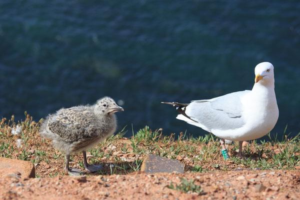 Möwe mit Nachwuchs am Vogelfelsen