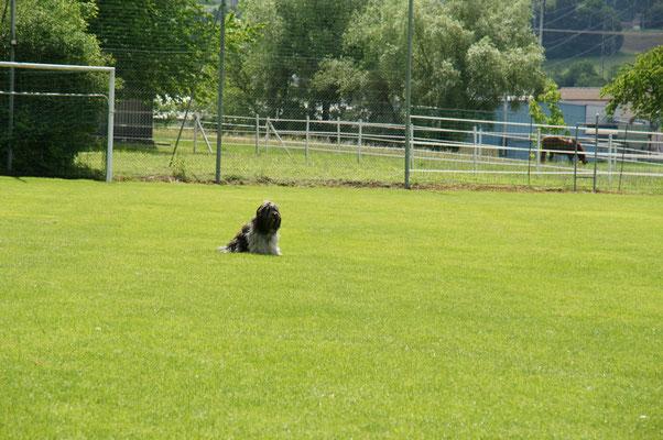 Filou sitzt ca. 20 Schritt vor dem Hochsprung und wartet
