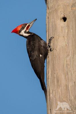 pileated woodpecker (hylatomus pileatus)