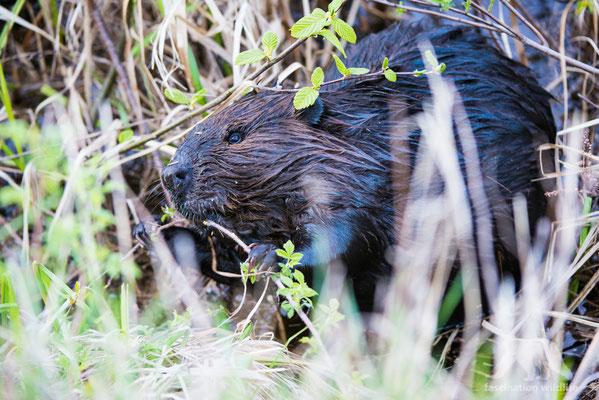 beaver (castor canadensis)