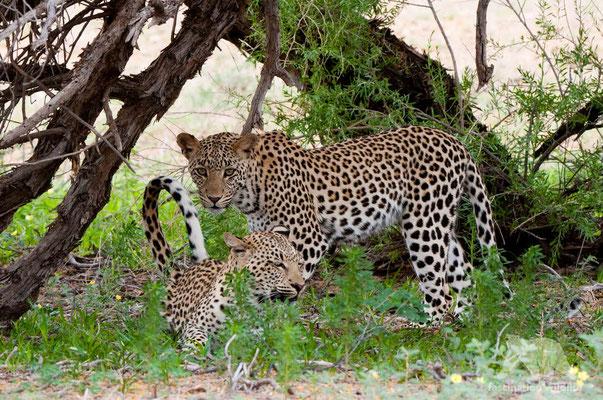 leopard (panthera pardus pardus)