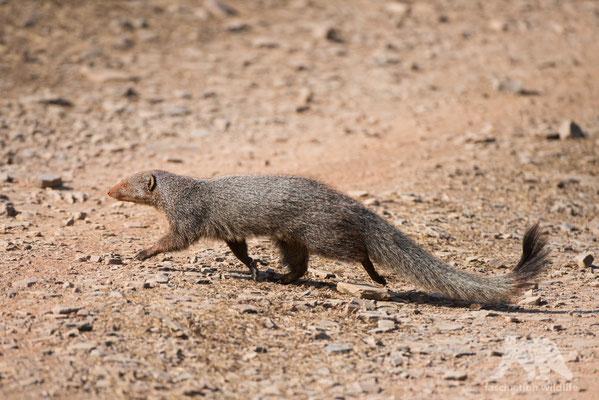 mongoose (herpestes edwardsii)