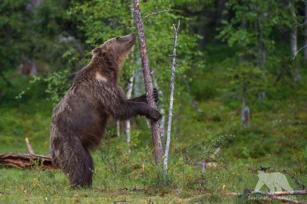 european brown bear (ursus arctos)