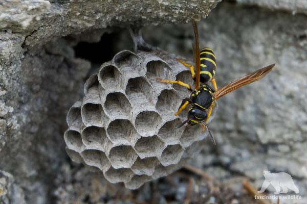 common wasp (vespidae)