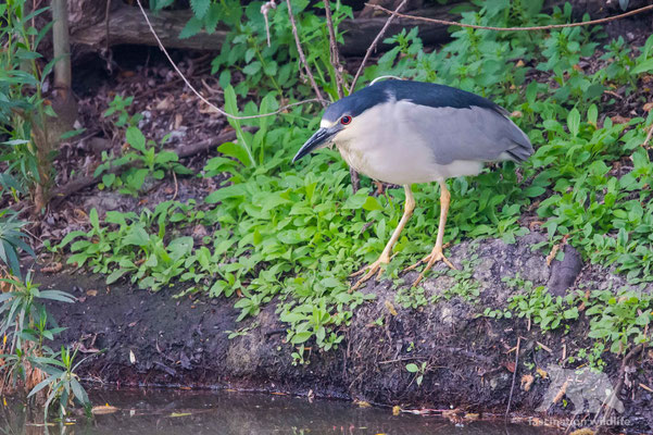 black crowned night heron ( nycticorax nycticorax)