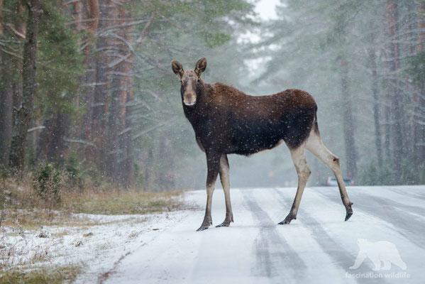 european moose (alces alces)