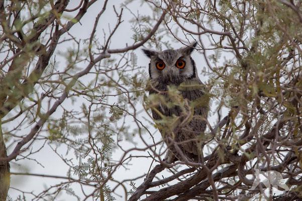 white faced owl (ptilopsis granti)
