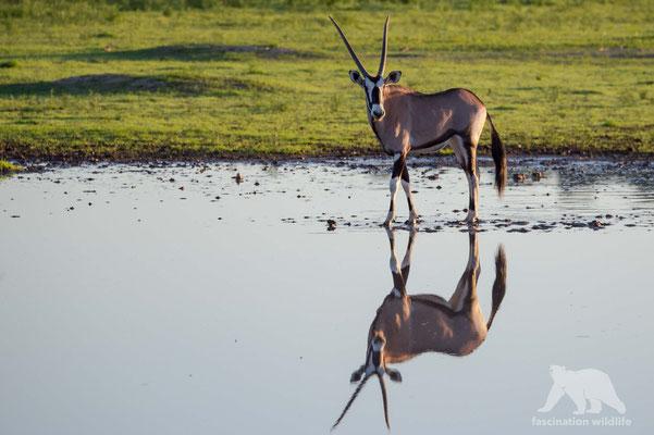oryx (oryx gazella)