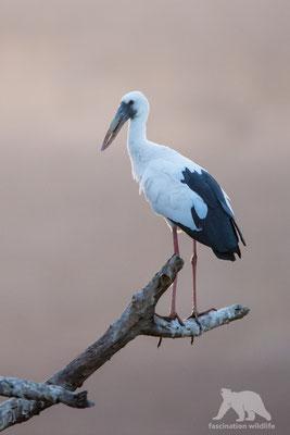 open billed stork (anastomus oscitans)