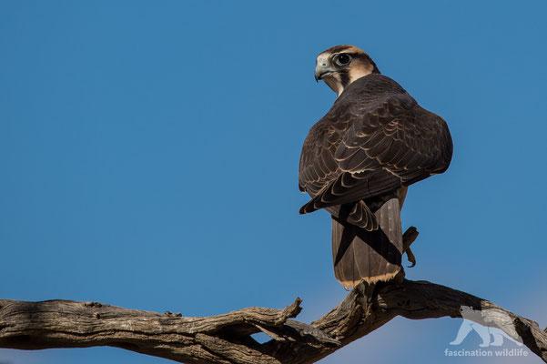 lanner falcon (falco miarmicus)