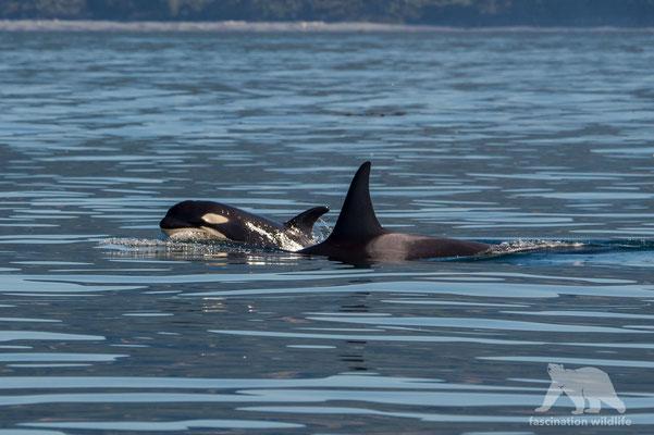 Orca (killer whale)  (orcinus orca)
