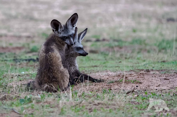 bat eared fox (otocyon megalotis)