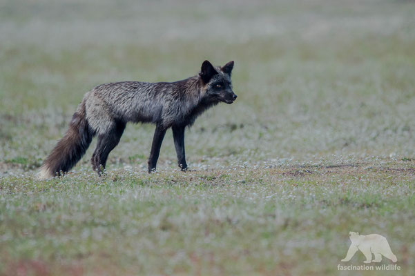 red fox -silver fur-(vulpes vulpes)