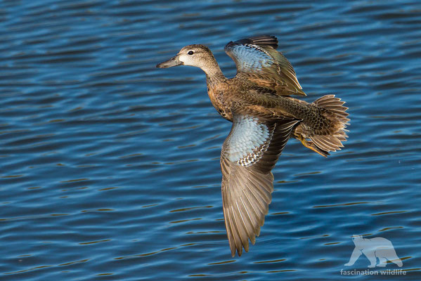 blue winged teal (anas discors)