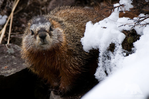 yellow bellied marmot (marmota flaviventris)