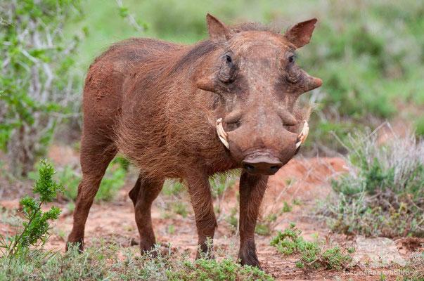 warthog (phacochoerus)