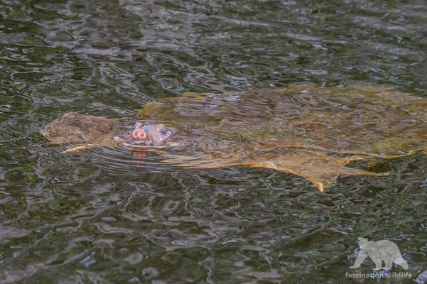 soft shell turtle (apalone spinifera)