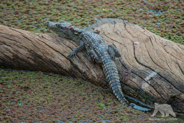 crocodile (crocodylus palustris)