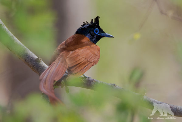 paradise fly catcher (terpsiphone paradisi)