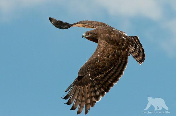 black chested snake eagle (circeatus pectoralis)