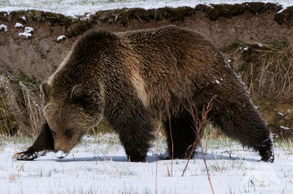 grizzly bear ( ursus arctos horribilis)