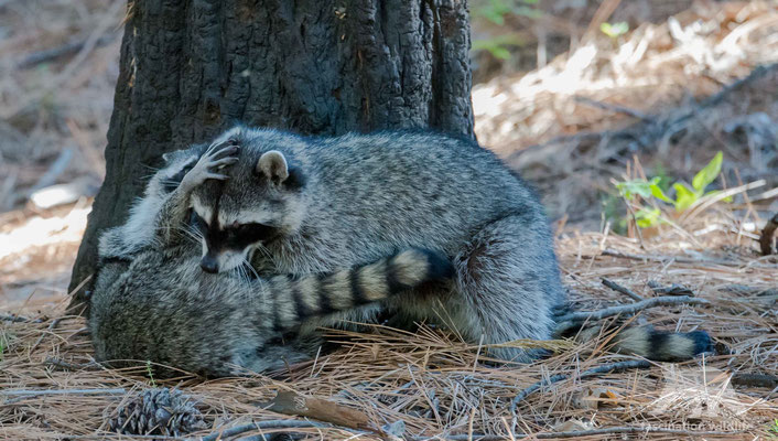 racoon (procyon lotor)
