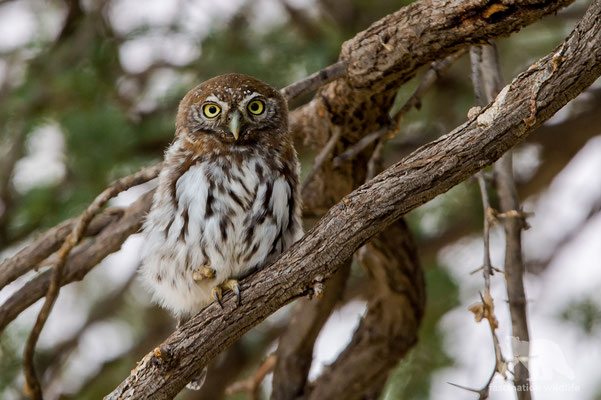 pear-spotted owl (glaucidium perlatum)