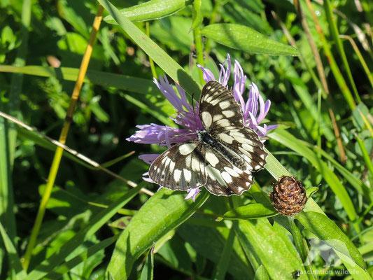western marbled white butterfly (melanargia galathea)
