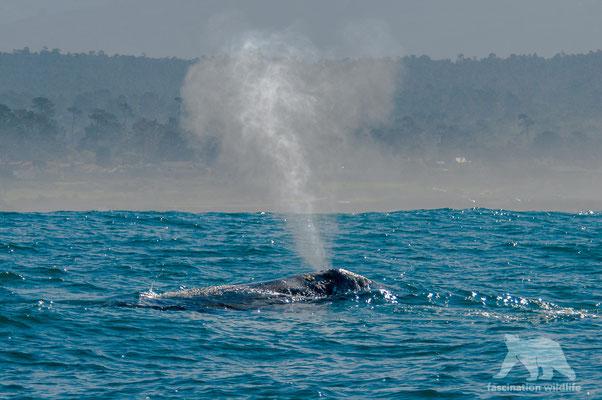 gray whale (eschrichtius robustus)