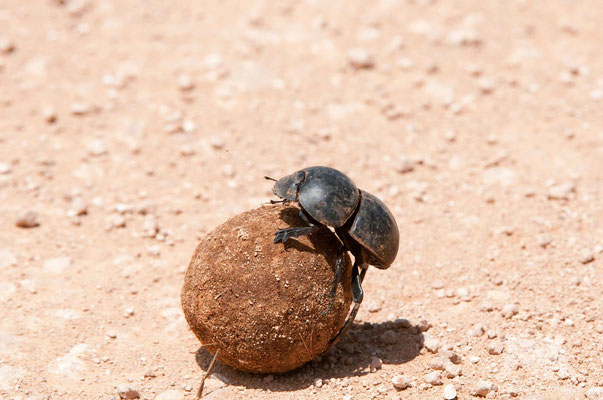 dung beetle (scarabaeus spec)