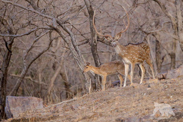 white spotted deer (axis axis)