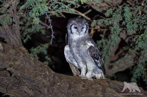 verreaux eagle owl (bubo lacteus)