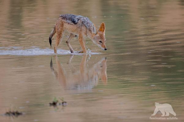 black backed jackal (canis adustus)