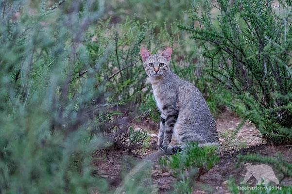 african wild cat (felis silvestris)
