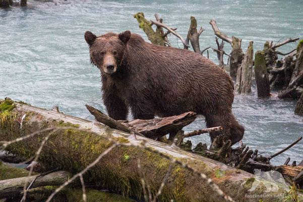grizzly bear (ursus arctos horribilis)
